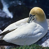 Gannets take considerable time preening their feathers.