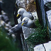 The black-legged kittiwake is a member of the gull family and live at sea most of the year except for nesting.  They return to the high cliffs to hatch their chicks in a most dangerous location.  They lay one or two eggs in a nest of moss, grass and seaweed.  The chicks must be very careful.