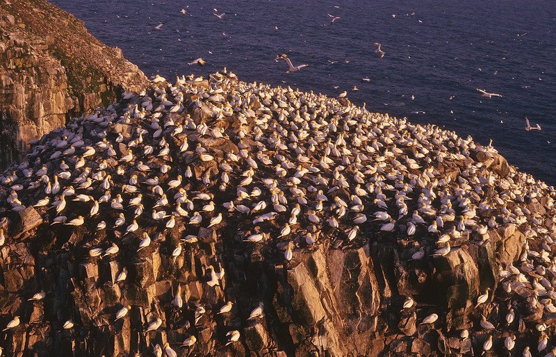 This is a busy time in the gannet colony as everyone wakes at first light.  Things become busy, with those nesting and those fishing.