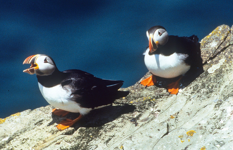 A puffin pair on the cliffs above their nest.