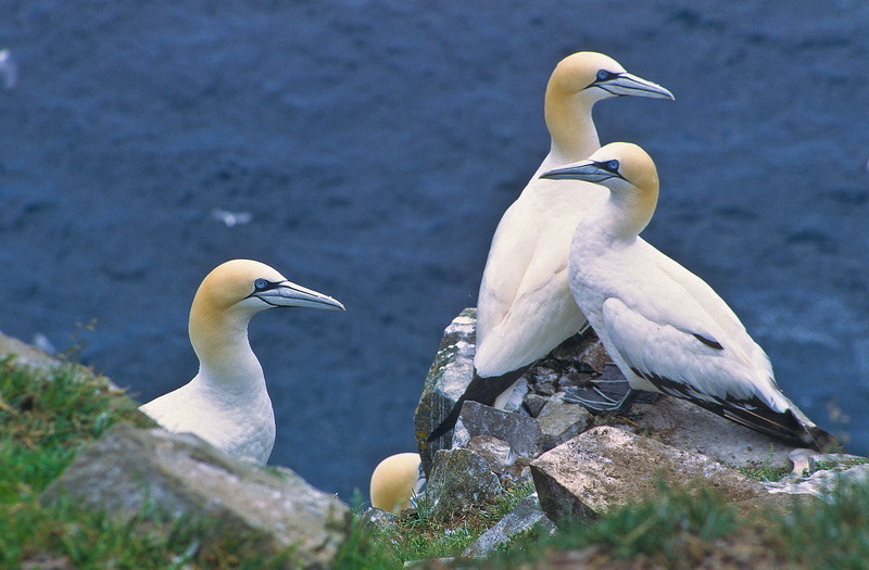 A group pf gannets getting together to talk about topics.