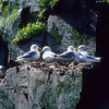 The black-legged kittiwake nest high on the cliffs above the ocean.  Life is dangerous for new chicks.