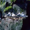 The black-legged kittiwake nest high on the cliffs above the ocean.  Life is dangerous for new chicks.