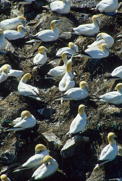 The gannets build small nest in the shape of a mound with room for one egg.
