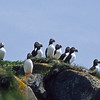This group of Atlantic Puffins are standing on the top of the cliffs on their island.  Just below there are dens in the rocks used for nesting.  They dig tunnels into the soil and line these tunnels with leaves, grass and feathers.