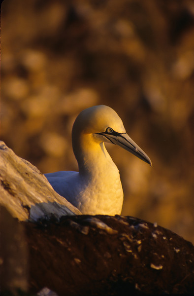 Gannets spend most of the year at sea feeding.  They will return each year to the rocky coast of the Canadian Maritime to nest.  Thousands will nest in a small place.  They are very noisy.  This gannet sits on the cliffs at sunset.