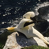 Gannet getting ready for flight.  They dive off the cliffs to fish in the ocean below.