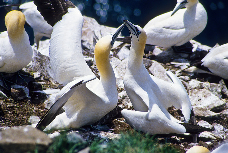 Gannets are very affectionate with their mate.  They go through this ritual of preening each other and making a general racket.