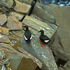 The black Guillemot is a seabird that can be found in the North Atlantic.  They have beautiful features with a black body, large white patches on their wings and red feet.  They swim underwater to find fish and other prey.