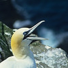 The gannet colony has to be one of the noisiness places on earth.  Morning, noon, and night, Blaa, Blaa, Blaa.  There isn't much room, so disputes and much vocalization can be heard.
