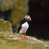 The puffins normally form long term relationships with their spouses.  They stand out because of their orange legs and red beak.  The red beak occurs only during mating season.