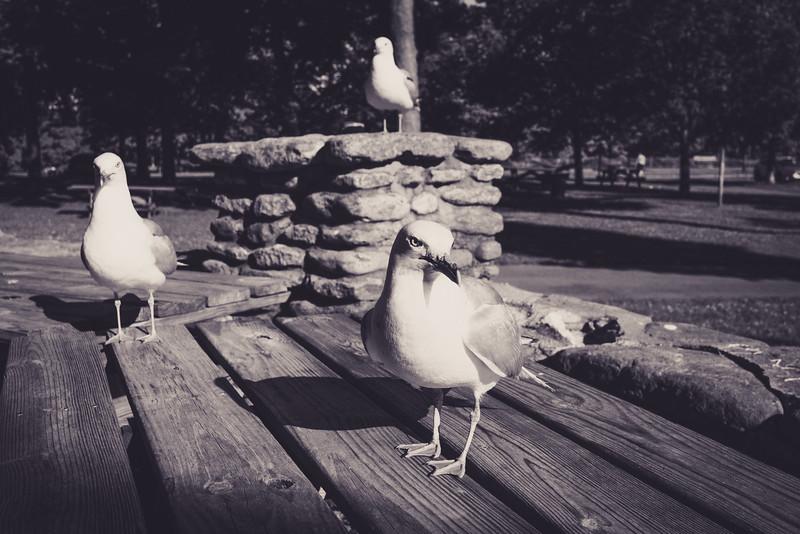 Da Gulls