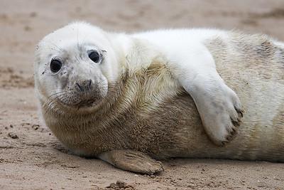 Seals at Donna Nook 2008