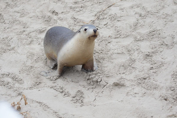 Seal - Seal Bay (Kangaroo Island), South Australia