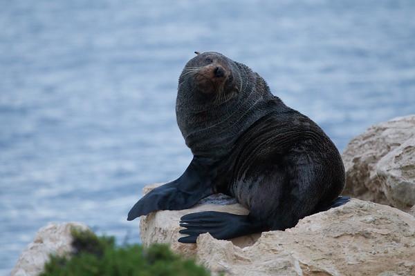 Seal - Kingscote (Kangaroo Island), South Australia
