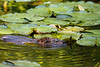 Muskrat, Canoe Creek State Park