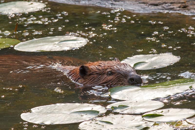 Beaver, Canoe Creek State Park