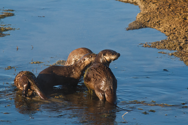 River otters, Yellowstone National Park