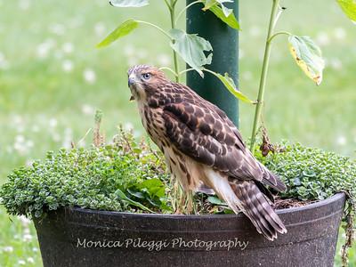 Hawk Backyard 26 June 2019-3420