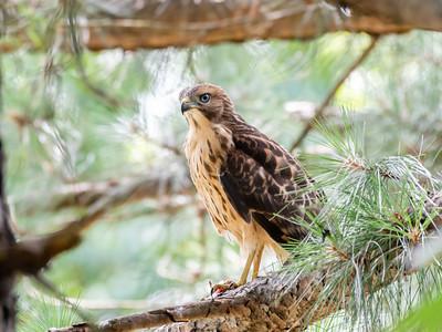 Hawks Backyard June 2019-2153