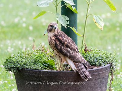 Hawk Backyard 26 June 2019-3422