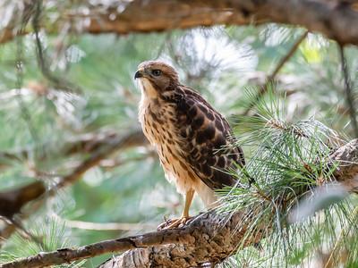 Hawks Backyard June 2019-2207