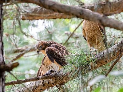 Hawks Backyard June 2019-2128
