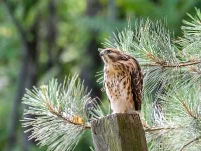 Hawks Backyard June 2019-2110