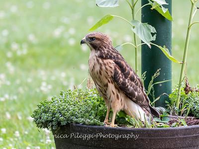 Hawk Backyard 26 June 2019-3428