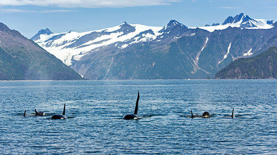Resident Pod of Orca whales in Seward.