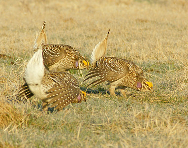 Sharp-tailed Grouse 4_PaulS