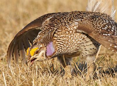 Sharp-tailed Grouse 30