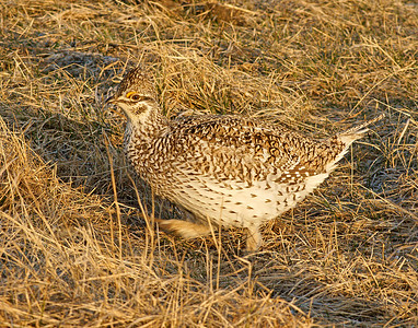 Sharp-tailed Grouse 3_PaulS