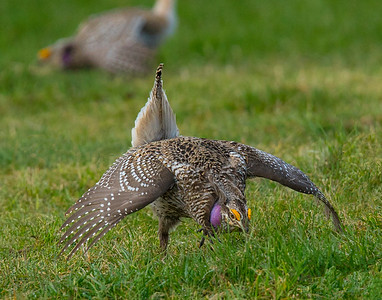 Sharp-tailed Grouse 46