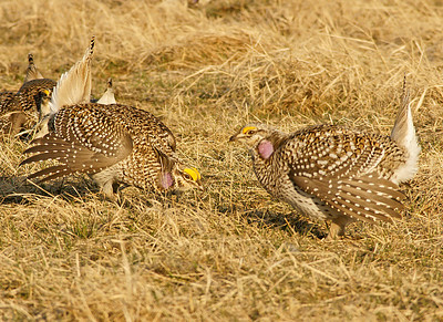 Sharp-tailed Grouse 5_PaulS