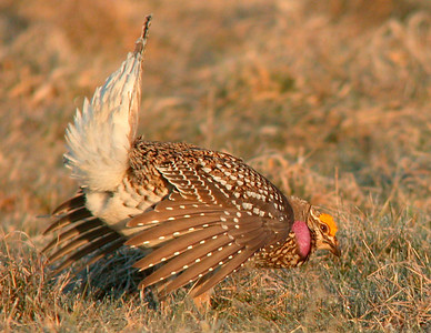 Sharp-tailed Grouse 8