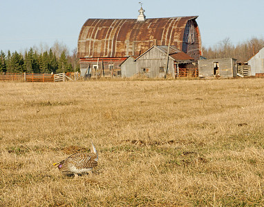 Sharp-tailed Grouse 11