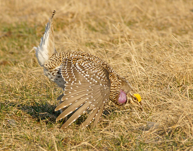 Sharp-tailed Grouse 23