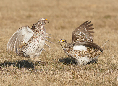 Sharp-tailed Grouse 32