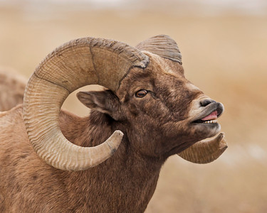Bighorn Sheep, Badlands NP.