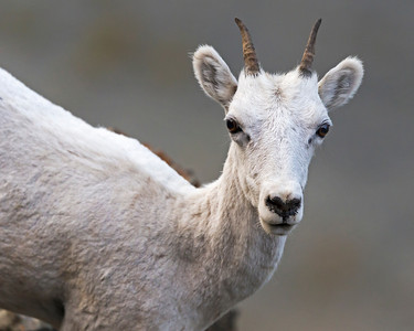 Dall Sheep,  close to Anchorage Alaska
