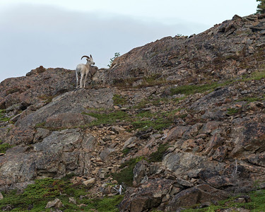 Dall sheep.
