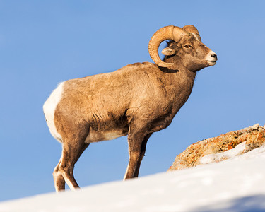 Big horn sheep were abundant in Yellowstone near the hitching post.