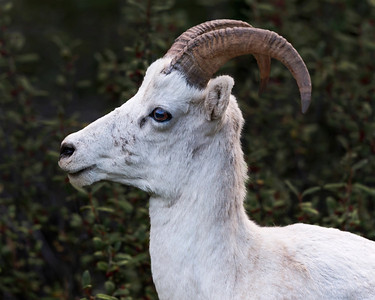 Dall Sheep, working on it's full curl to become the Ram. Alaska