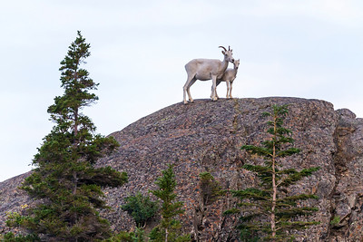 Dall Sheep on the ridge in Alaska.
