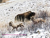 Two bighorn going down as Bison goes up. Photo taken near the hitching post, YNP.