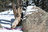 This ram is jumping onto a rock directly across from teh yellowstone picnic area entrance. This photo was taken in Feb.2009. This same ram or another just like him was still there having his photo taken the first week in June.