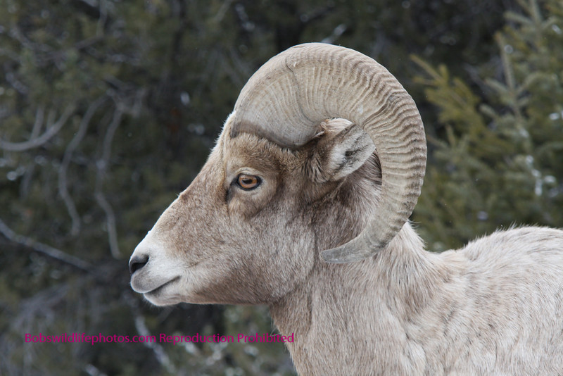 Profile of young ram.