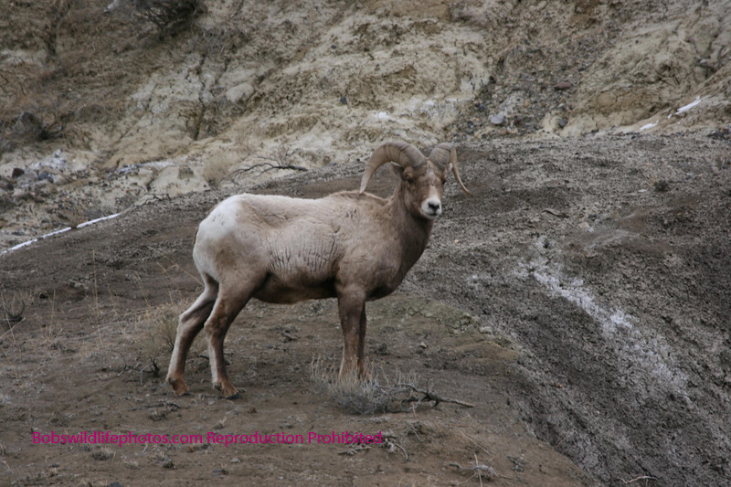 Big horn sheep - note how well he blends in.