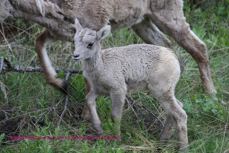 This young lamb along with several ewes were in the vacinity of calcite springs.